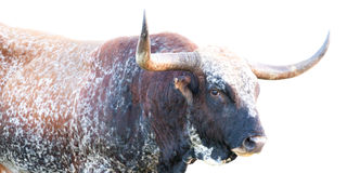 Wild Texas Longhorn Bull Royalty-vrije Stock Afbeeldingen