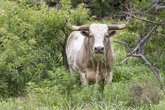 Wild Texas Longhorn in Oklahoma. Prairie Royalty Free Stock Photos