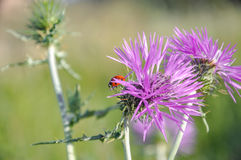 Wild thistle (carduus) and ladybug (coccinellidae). Stock Image