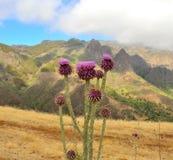 Wild thistle flowers onopordum carduelium, Gran canaria. Flowers of wild thistle onopordum carduelium Royalty Free Stock Photo
