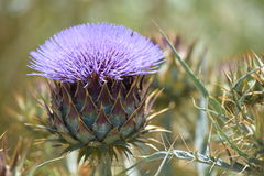 Wild thistle found in a field Stock Image