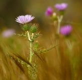 Wild thistle in full bloom among grasses Stock Photography