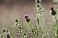 Wild thistle in a meadow Stock Photos
