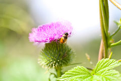 Wild thistle with pink flower and bee on green background Stock Image