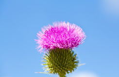 Wild thistle with pink flower on blue sky background Stock Photography