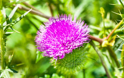 Wild thistle with pink flower on green background Stock Images