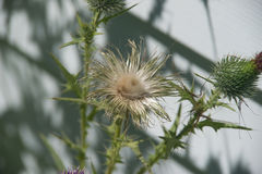 Wild Thistle Pod Open Seeds Stock Photography