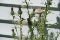 Wild Thistle Pods After Bloom Stock Photos