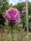Wild thistle Royalty Free Stock Photography
