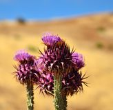 Wild thistles onopordum carduelium in full bloom Royalty Free Stock Photo