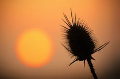 Wild thistles silhouette at sunset Royalty Free Stock Image
