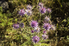 Wild thorny Eryngo flowers on a field closeup. Eryngium is a genus of flowering plants in the family Apiaceae Stock Photo