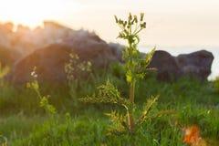 Wild thorny flower. Beautiful wild thorny flower at sunset sunrise Stock Photo