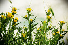 Wild thorny plants and ears of corn, vintage. A detailed view of the yellow flowers of a thorny plant, the sky blurred in the background, landscape cut Stock Photo