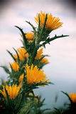Wild thorny plants and flowers, vintage. A detailed view of the yellow flowers of a thorny plant, the sky blurred in the background, portrait cut Royalty Free Stock Photos