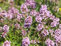 Wild thyme blooming, Thymus. Wild thyme blooming with pale pink flowers, Thymus royalty free stock photo
