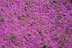 Wild thyme flowers. Stock Photo