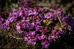 Wild Thyme flowers stock photos