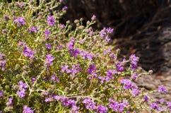 Wild thyme on greek island Stock Photos