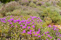 Wild thyme on greek island Stock Photography
