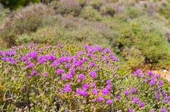 Wild thyme on greek island Stock Photography