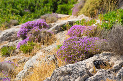 Wild thyme on greek island Royalty Free Stock Photos