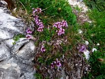 Wild thyme. An image of a Purple Wild thyme (Thymus serpyllum montanus) in the rocks Royalty Free Stock Photography