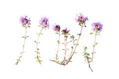 Wild thyme isolated on white Stock Photo