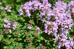 Wild Thyme Stock Images