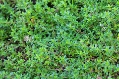 Wild Thyme, Thyme-leaved sandwort Royalty Free Stock Photography