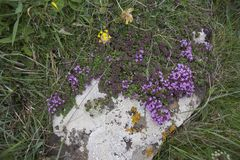 Wild Thyme Thymus polytrichus, Kynance Cove, Cornwall, England Stock Images