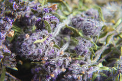 Wild thyme - Thymus serpyllum Stock Images