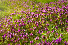 Wild thyme Thymus serpyllum . A dense group of purple flowers of this aromatic herb in the family Lamiaceae Stock Photos