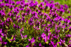 Wild thyme Thymus serpyllum . A dense group of purple flowers of this aromatic herb in the family Lamiaceae. Nature Colorful Natural Blurred Background. Bokeh stock photo