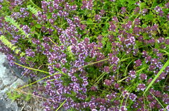 Wild thyme Thymus serpyllum - medicinal herb. For tea Royalty Free Stock Photo