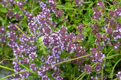 Wild thyme Thymus serpyllum - medicinal herb. For tea Royalty Free Stock Photos