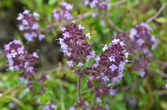 Wild thyme Thymus serpyllum - medicinal herb. For tea Royalty Free Stock Photography