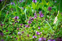 Wild Thymus with bee Stock Image