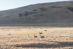 Wild tibetan antelope Stock Photo