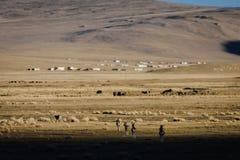 Wild tibetan antelope Royalty Free Stock Images