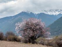Wild tibetan peach blossoms Stock Photos