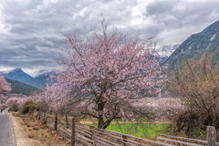 Wild tibetan peach blossoms Royalty Free Stock Images
