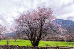 Wild tibetan peach blossoms Stock Image