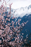 Wild tibetan peach blossoms Stock Photography