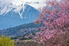 Wild tibetan peach blossoms Royalty Free Stock Photos