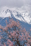Wild tibetan peach blossoms Royalty Free Stock Photography