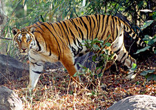 Wild Tiger. A tiger on the prowl at Pench Tiger Reserve in Central India Royalty Free Stock Photo