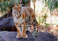 wild tiger Royaltyfri Bild
