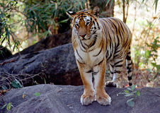 Wild Tiger. A tiger on a rock at Pench Tiger Reserve in Central India Stock Photo