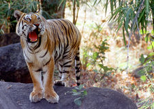 Wild Tiger. A tiger on a rock at Pench Tiger Reserve in Central India Royalty Free Stock Photo